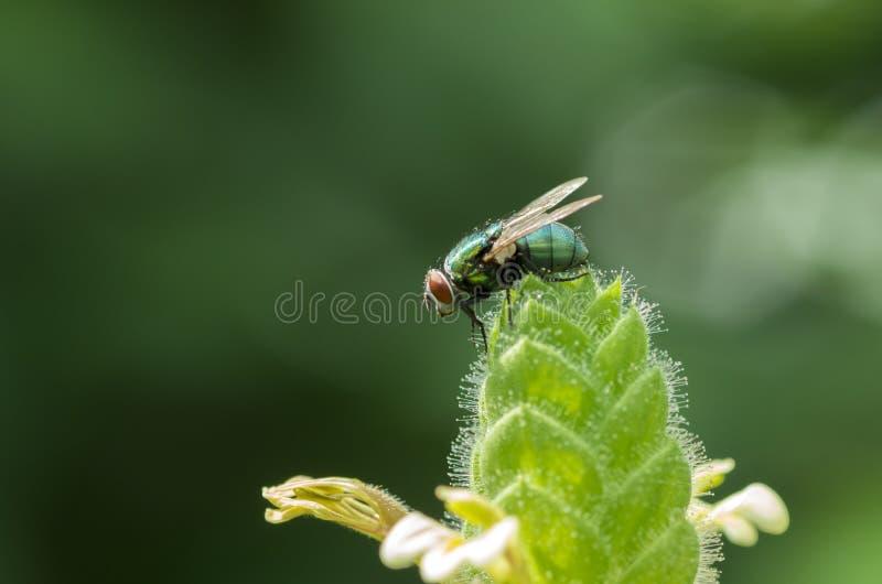 在植物的马蝇 免版税图库摄影