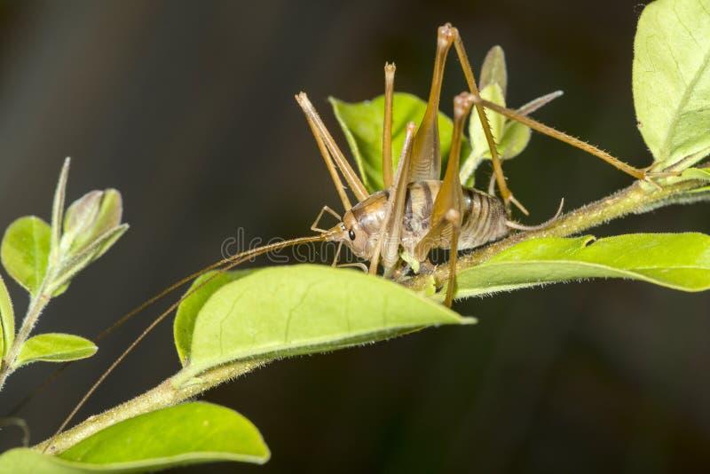 在植物的骆驼蟋蟀 免版税图库摄影