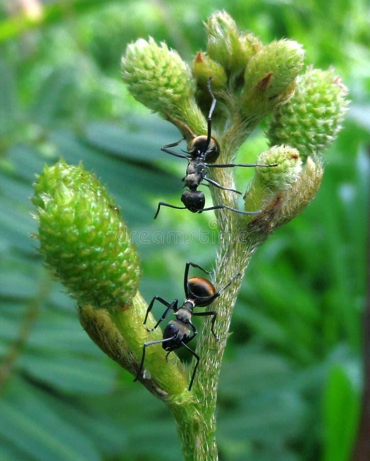 在植物的黑蚂蚁 库存照片