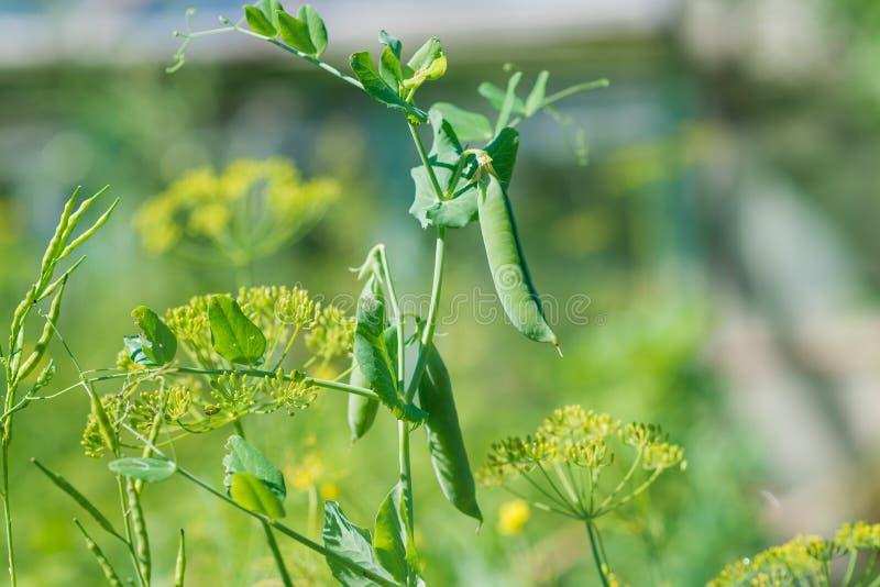 在植物的年轻绿豆 免版税库存照片