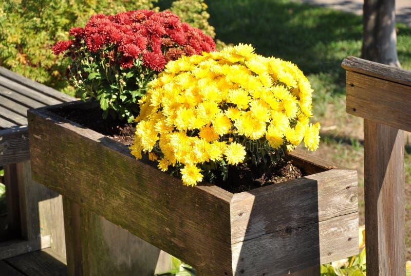 在植物箱子的菊花 免版税库存图片