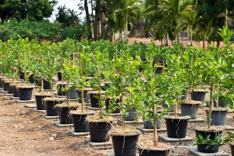 在植物罐种植的柠檬树 免版税库存照片