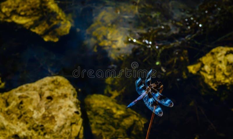 在植物茎的蜻蜓在池塘设置 免版税库存图片