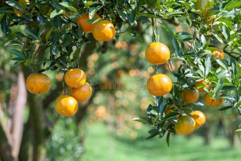 在植物,橙树的新鲜的桔子。 库存照片