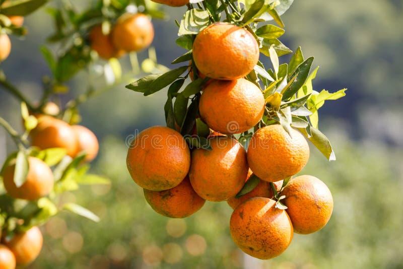 在植物,橙树的新鲜的桔子。 免版税库存图片