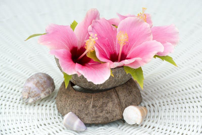 在椰子果壳的木槿绽放 库存图片