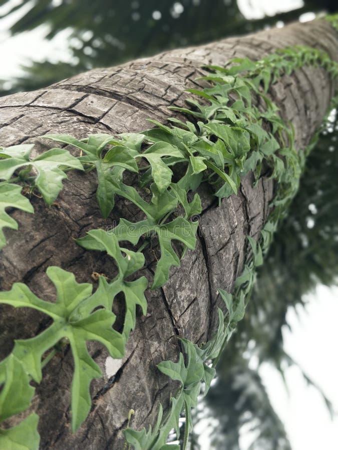 在椰子树的绿色藤 免版税图库摄影