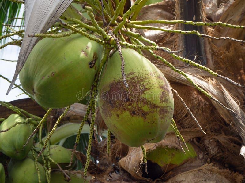 在椰子的新鲜的椰子 库存照片
