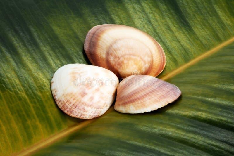 在榕属叶子背景的贝壳  免版税库存照片