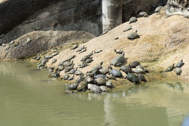 在槟城极乐寺寺庙的乌龟在槟榔岛海岛,马来西亚 免版税图库摄影