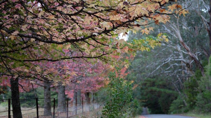 在槭树的秋叶 免版税库存照片