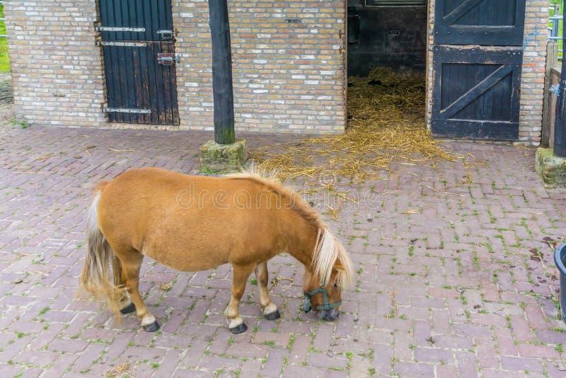 在槽枥的幼小棕色小马 免版税库存图片
