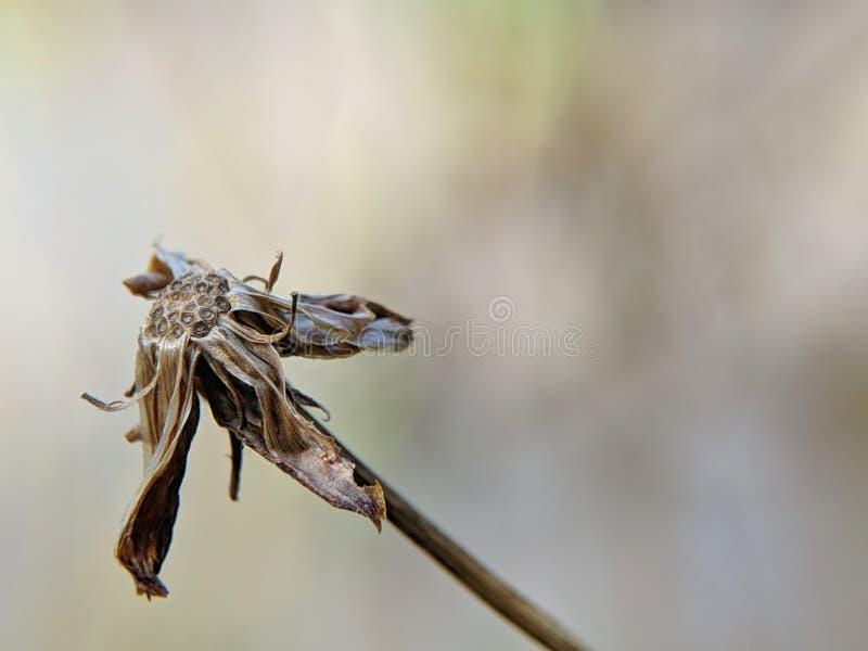 在模糊的光滑的背景的干燥波斯菊花 库存图片