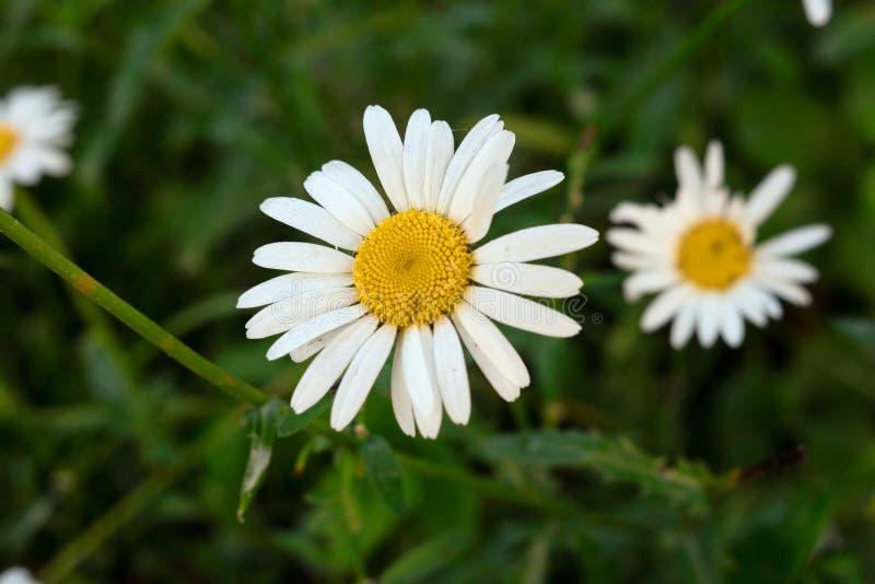 在模糊的绿色背景的春黄菊在庭院里 免版税库存图片