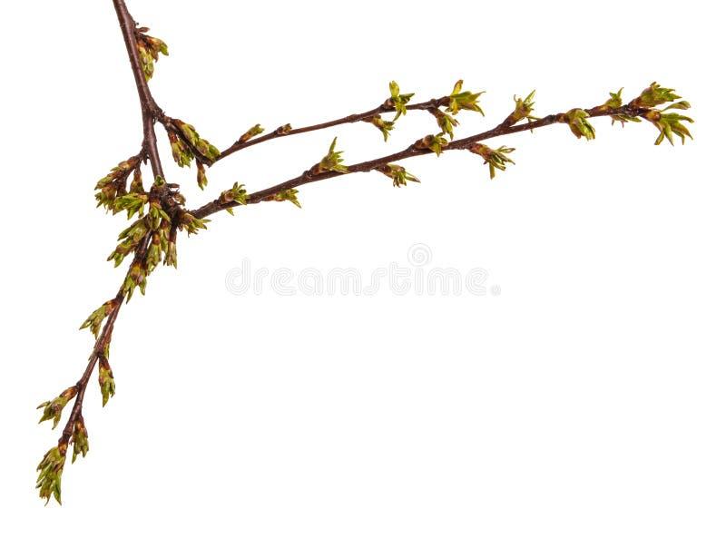 在樱桃树分支的圆鼓的绿色芽  免版税图库摄影