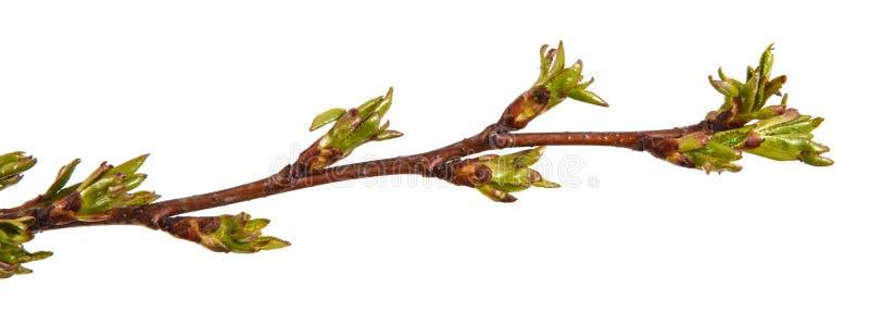 在樱桃树分支的圆鼓的绿色芽  图库摄影