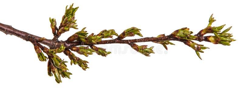 在樱桃树分支的圆鼓的绿色芽  免版税库存图片