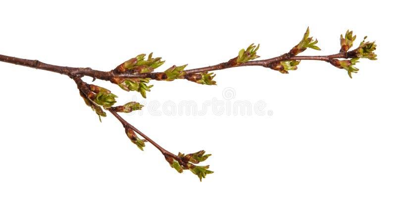 在樱桃树分支的圆鼓的绿色芽  免版税库存照片