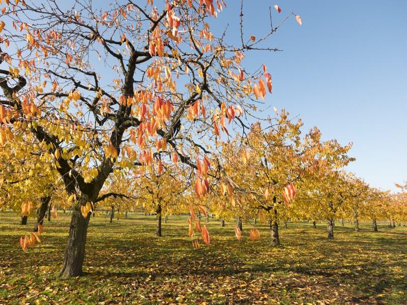 在樱桃树的五颜六色的叶子在秋天在odijk附近的樱桃园在乌得勒支省在荷兰 免版税库存图片