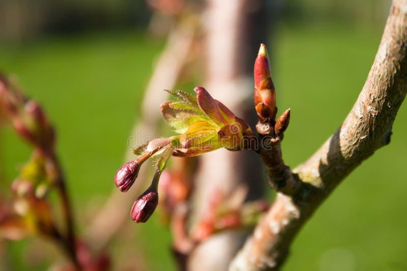在樱桃树的发芽的分支 免版税库存照片