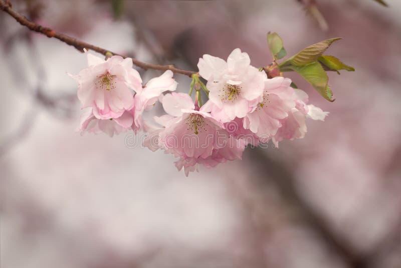 在樱桃树的可爱的花在5月上旬 免版税库存图片