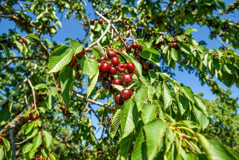 在樱桃树的多尔县威斯康辛酸的深红樱桃在采摘的果树园 免版税库存照片