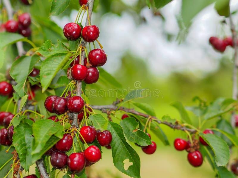 在樱桃树的新鲜的红色樱桃 库存图片