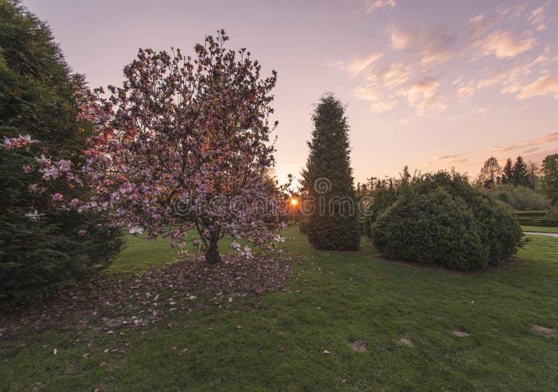 在樱桃树的日落在领域 库存图片
