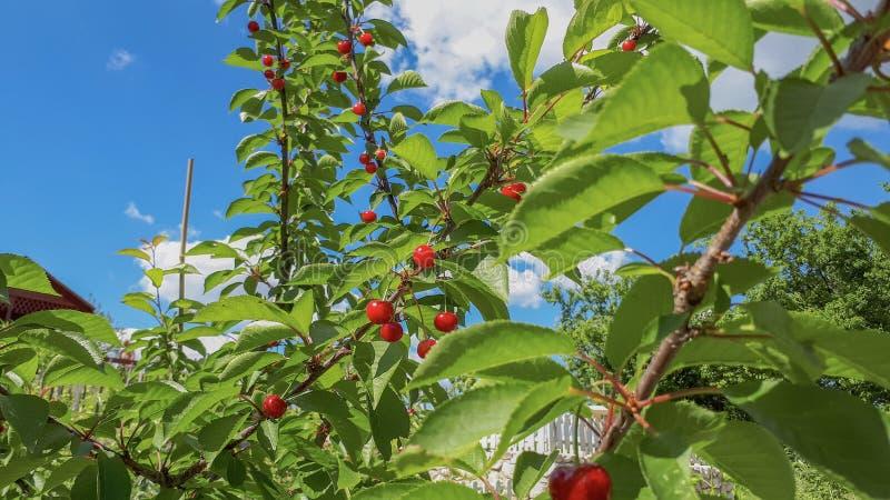 在樱桃树的红色樱桃与绿色叶子和天空蔚蓝和云彩 免版税库存照片