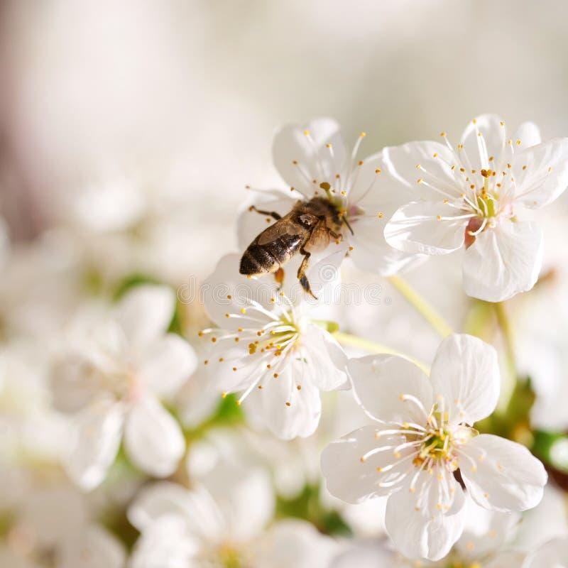 在樱桃树的蜂开花 免版税库存图片