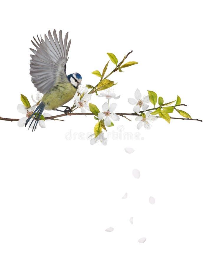 在樱桃树进展的分支的欧亚蓝冠山雀 免版税库存照片