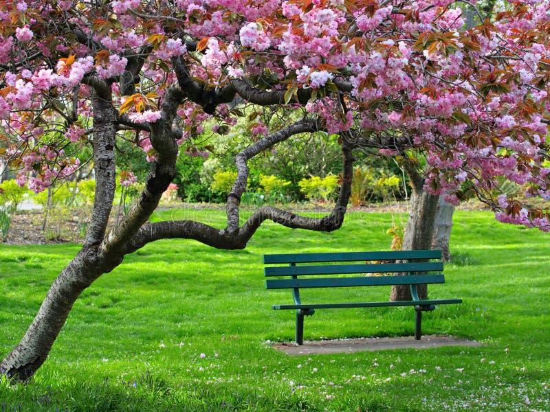 在樱桃绽放下的长凳 图库摄影
