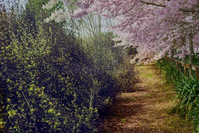 在樱花下的一条道路在春天 免版税库存照片
