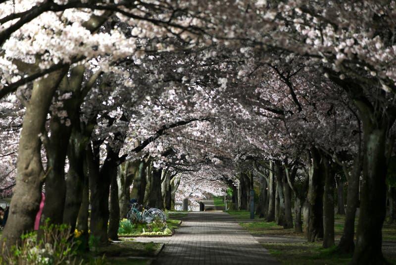 在樱花下的盛开的道路或佐仓夜 库存图片