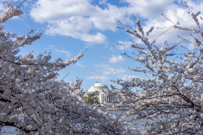 在樱花期间,杰斐逊纪念堂由开花的樱桃树和多云天空蔚蓝构筑了 免版税图库摄影
