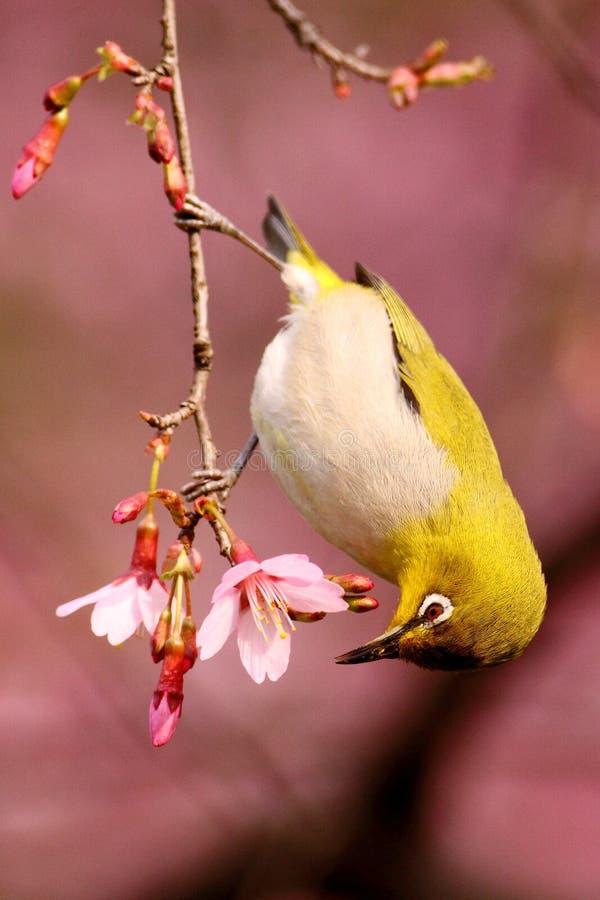 在樱花结构树的日本空白眼睛 免版税库存图片