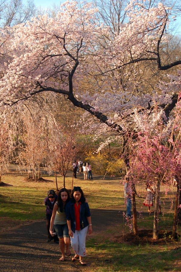 在樱花间漫步 库存图片