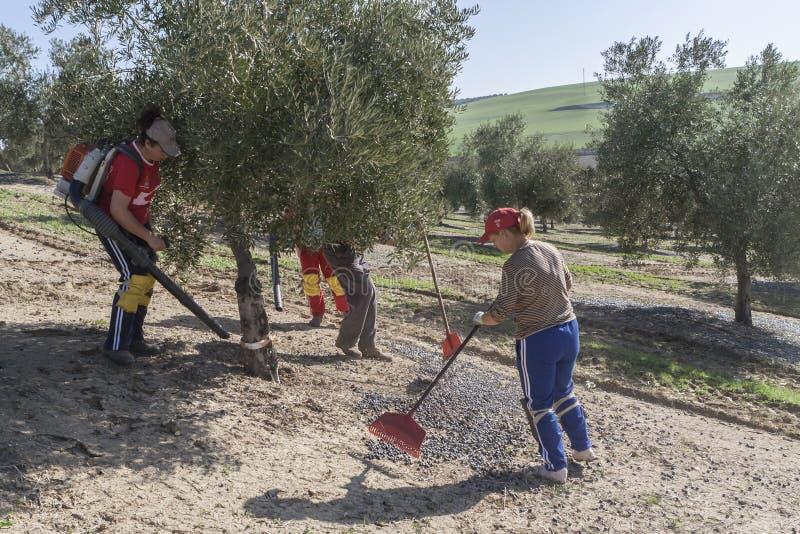 在橄榄中竞选的农夫在橄榄树的领域的 库存照片