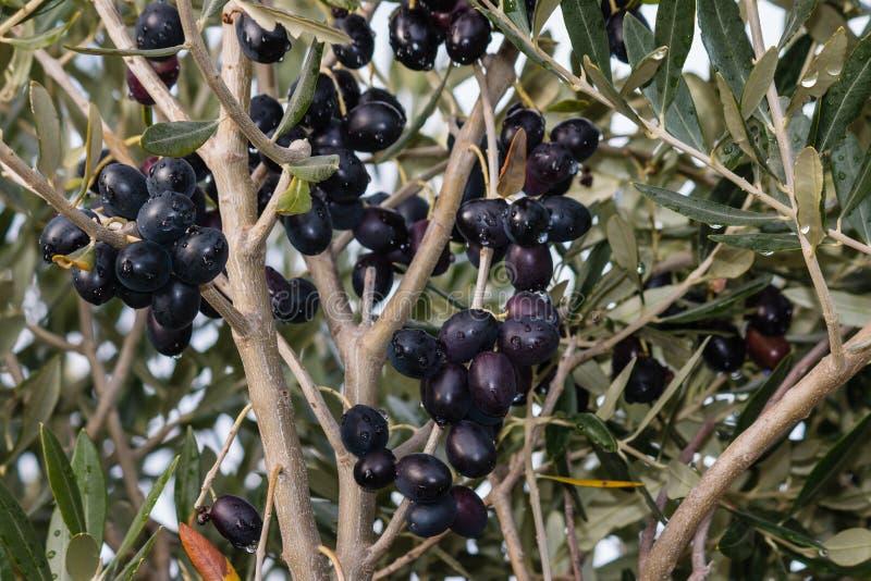 在橄榄树分支的成熟黑橄榄 免版税库存照片