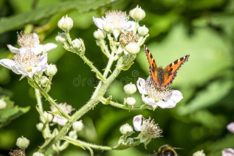 在橘黄色的蛱蝶 库存图片