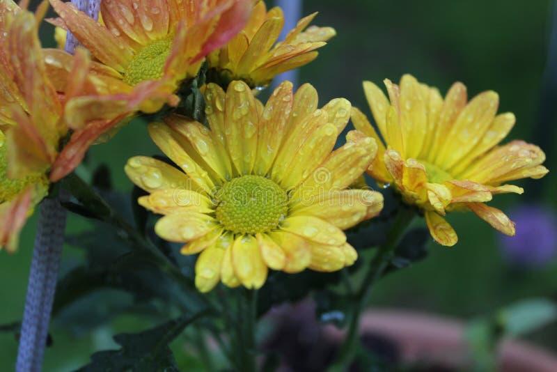 在橙色和红色花旁边的黄色花 免版税库存照片