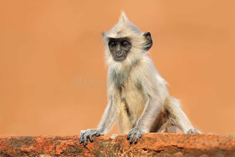 在橙色墙壁上的幼小猴子 斯里兰卡的野生生物 共同的叶猴, Semnopithecus entellus,在橙色砖瓦房的猴子 库存图片