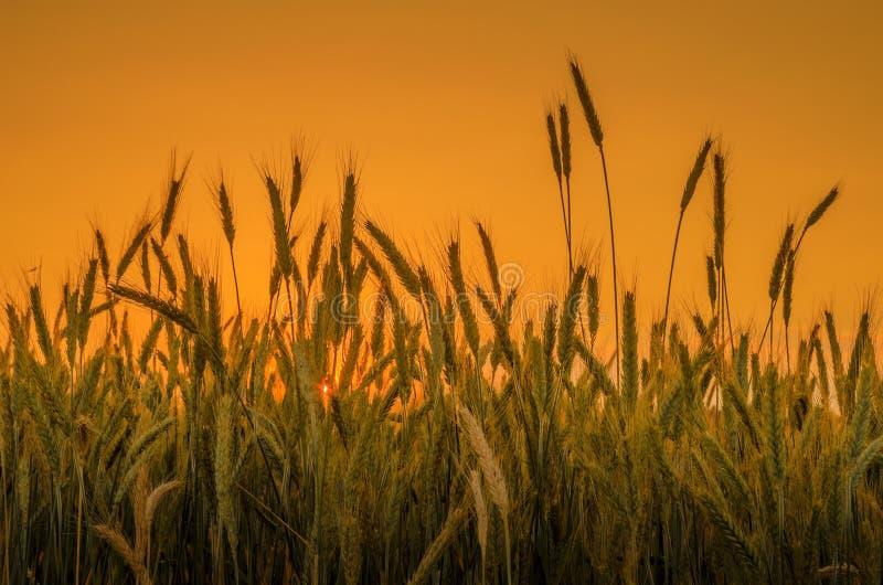 在橙色天空背景的麦子 库存照片