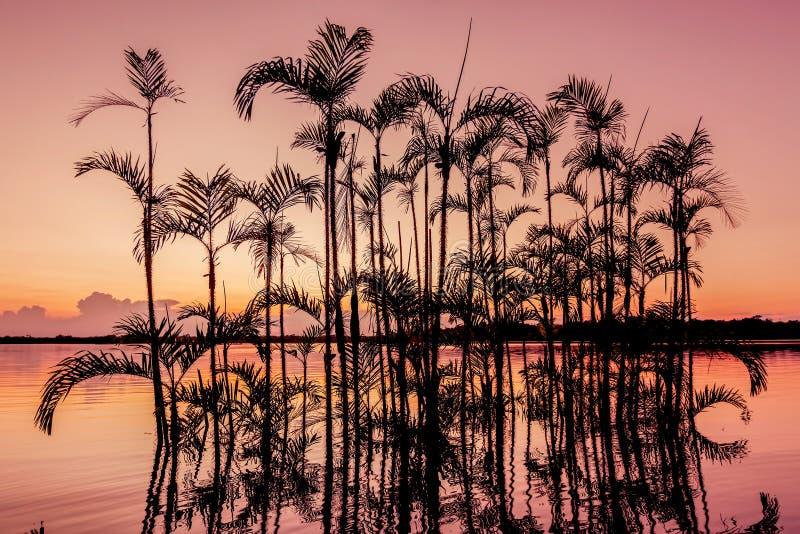 在橙色日落现出轮廓的棕榈树,似亚马逊密林 免版税库存照片