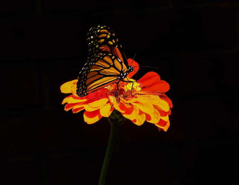 在橙色百日菊属花的五颜六色的黑脉金斑蝶 免版税图库摄影