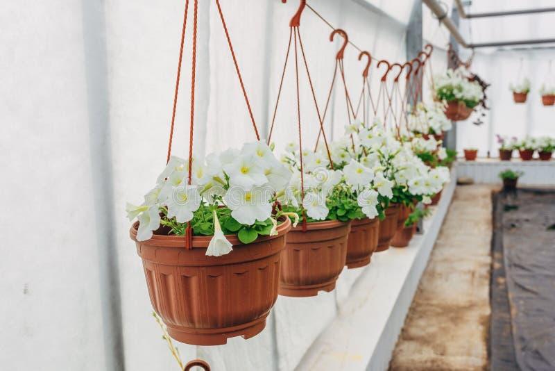 在橙色罐的开花的白色喇叭花,垂悬在绳索在花市场上 免版税库存照片