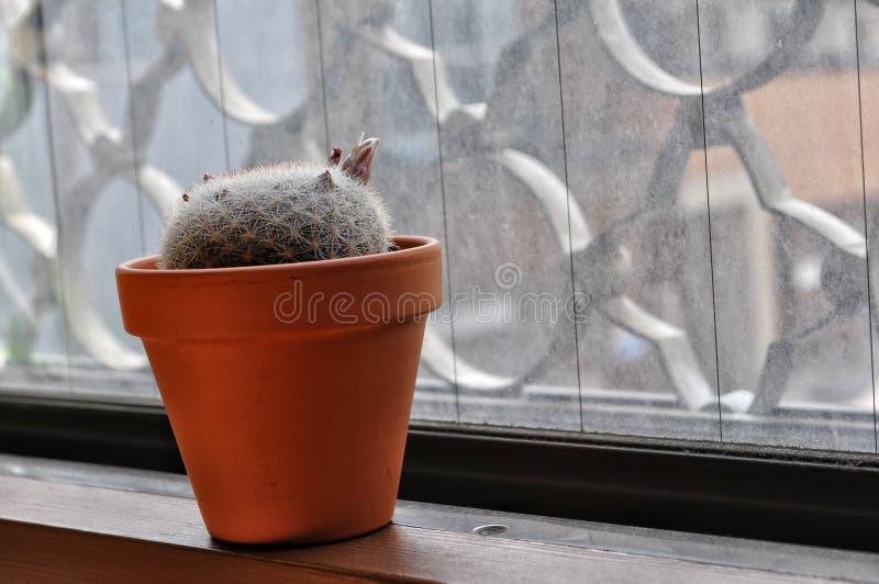 在橙色罐的Mammillaria假丝酵母 免版税库存图片