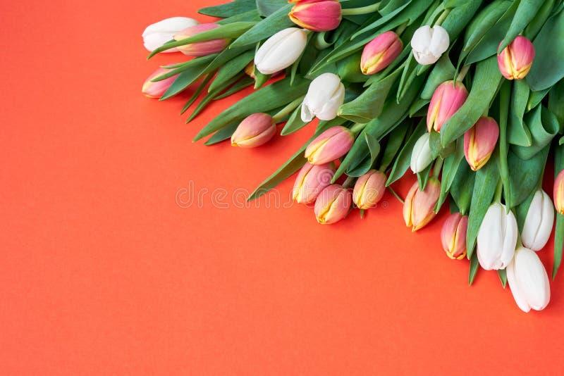 在橙色背景的白色和红色郁金香 假日背景,拷贝空间 生日,母亲节,情人节概念 免版税库存图片