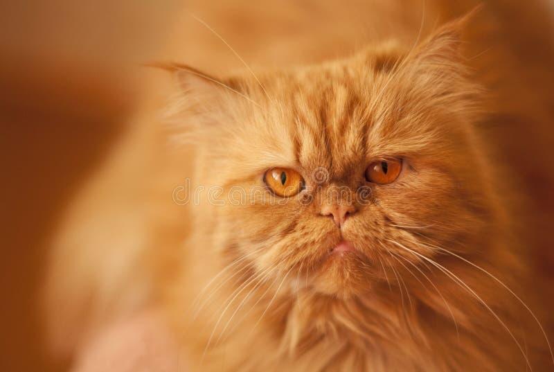 在橙色背景的红色恼怒的美丽的波斯猫 免版税图库摄影