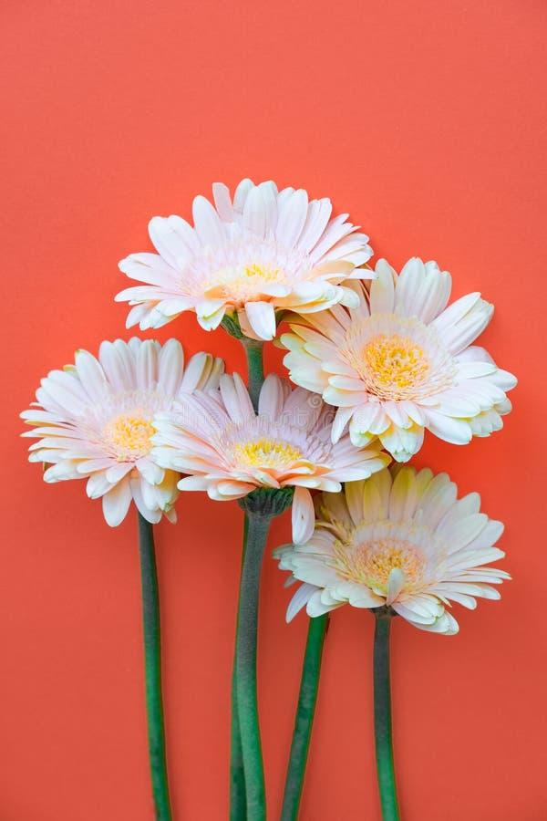 在橙色背景的美丽的春天花格伯 春天复活节概念 库存照片